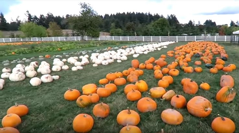 Little People, Big World: Pumpkin Season on Matt Roloff Farm